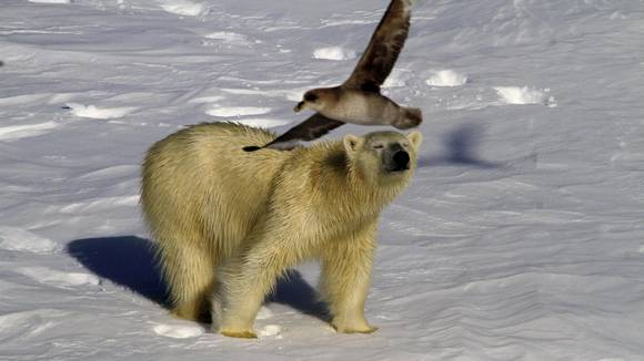 Når isen i Arktis reduseres, får isbjørnen problemer med å fange sel og må jakte på alternativ føde.